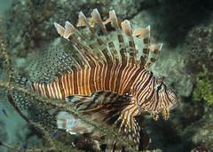 Lion Fish 1 (bluechromis1) Tags: belize underwater scuba lionfish tropical reef