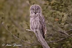 The Great Gray (Anne Marie Fraser) Tags: outdoor animal great gray owl grey greatgrayowl greatgreyowl nature wildlife wild raptor forest bird