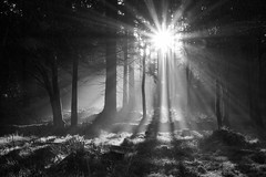 Light Shafts (Woodeee) Tags: shining through blackandwhite trees sunburst forest winter light bw