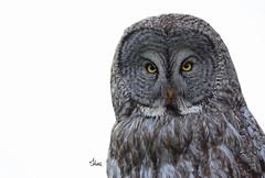 Great Gray Owl - 1288b (teagden) Tags: great gray owl ggo greatgrayowl greatgray jenniferhall jenhall jenhallphotography jenhallwildlifephotography wildlifephotography wildlife nature naturephotography photography wild nikon closeup bird birdphotography raptor birdofprey