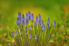 color explosion (Ifigeneia Vasileiadis) Tags: helios4085mm helios402 nikond7200 vintage lens hyacinth hyacinthus grapehyacinth blue orange red yellow outdoors shallowdepthoffield swirly