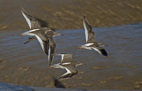 REDSHANK RIVER-RUN