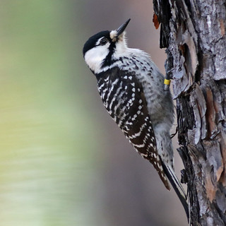 Red-cockaded Woodpecker (Picoides borealis), NC Sandhills Game Lands