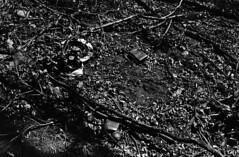 (|Digital|Denial|) Tags: cemetery swamp blackandwhite noir rangefinder minolta himatic7s contrast dark moody gloomy
