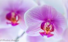 Pink light of Winter (frederic.gombert) Tags: orchid orchidee light sun sunlight flower flowers winter spring portrait bunch bloom nikon d810 macro