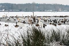 Wasservögel am Dechsendorfer Weiher 3 (Peter Goll thx for +11.000.000 views) Tags: 2017 dechsendorf erlangen franconian franken schnee winter snow germany schwan swan ente duck bird vogel weiher pond lake eis ice nikon nikkor d800