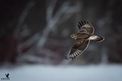 Roughing It (Osprey-Ian) Tags: roughleggedhawk jemseg newbrunswick