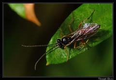 Ichneumonidae (cquintin) Tags: arthropoda hymenoptera ichneumonidae ichneumon