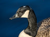Canada Goose (Maria-H) Tags: romiley england unitedkingdom gb canadagoose brantacanadensis etherowcountrypark compstall stockport cheshire uk olympus omdem1markii panasonic 100400