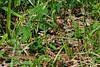 Vipera berus nikolskii (Evgeny Kotelevsky) Tags: vipera berus nikolskii viperidae snake reptile herpetology