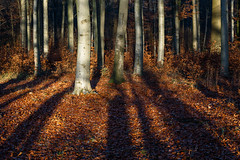 lange Schatten (Petra R.) Tags: wald licht sonnenuntergang rot herbst bäume buchen landschaft natur germany deutschland