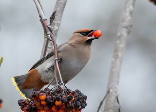 Waxwing , finally it seems there everywhere in uk but keep missing them ! Not today ! 😄😄😄
