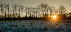 Your Sun, Back by Poplar Demand (Ian Hayhurst) Tags: poplar trees row array sunrise dawn golden winter hiver frost crisp morning rays landscape sun solar gold