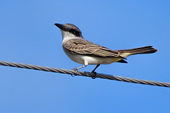 FL: Gray Kingbird 2 (donna lynn) Tags: 2017 florida nikon d500 nature wildlife birds tyrannusdominicensis