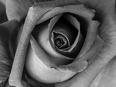 Layers (deborahb0cch1) Tags: blackandwhite monochrome flower rose curves sensual voluptuous macromondays