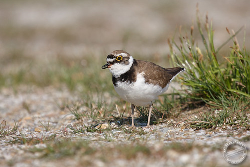 Flussregenpfeifer - Little ringed plover - Charadrius dubius