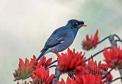 myna junglemyna sattal uttarakhand nikon birdwatcher