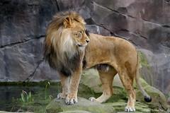 The King (DirkVandeVelde back) Tags: europa europ europe belgie belgium belgica belgique buiten biologie antwerpen anvers antwerp animalia animal mammalia zoo zoogdieren leeuw vleeseter carnivora lion king sony fauna