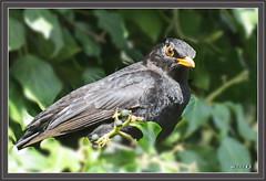 Amsel / Turdus merula (Martin Volpert) Tags: vogel bird amsel sperlingsvögel passeriformes drosseln turdidae mavo43 echtedrosseln singvögel turdusmerula