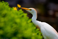 Cattle Egret (trinstanprep) Tags: