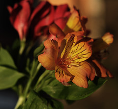 complete happiness (Martha MGR) Tags: flowers nature dof natureza jardim orangeflower bouquet profundidadedecampo redflower beautifulnature beautifulflower florvermelha florlaranja astromlias marthamgr ramodeflor