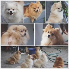 """""""24 ชม. ของเราจะต้องเจอกับคนอื่นๆมากมาย : แต่ 24 ชม. ของหมาไม่มีใคร พวกเขารอคอยแค่เวลาที่จะได้เจอคุณ"""" #ครอบครัวปอมปลอมไปเลยเนี่ย #คุณพ่อตันตัน #คุณแม่ถิงถิง #พี่ชายซูซู #น้องสาวก๊อกก๊อก และ #น้องสาวแก๊กแก๊ก"""