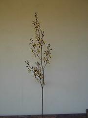 Encyclia alata? (cieneguitan) Tags: flower flora lan bunga orkid okid angrek anggerek