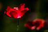 poppies (RCB4J) Tags: flowers flower macro art photography flora pretty bokeh glasgow rich contrejour guvs garscubeestate naturethroughthelens sigma150500mmf563dgoshsm ronniebarron rcb4j sonyilca77m2
