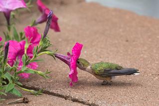 The Lazy Hummingbird