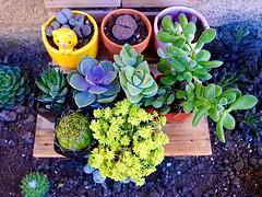 Sunshine (mssophiele) Tags: cacti succulent aloe meow plantpot echeveria lithop fallseason succulentgarden therapeutichobby sunflowerfarmnursery