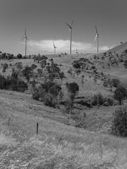 mount millar - 0024 [mono] (liam.jon_d) Tags: allocasuarinaverticillata mono allocasuarina arty australia australian bw billdoyle blackandwhite droopingsheoak eyrepeninsula grass grassland hill landscape middlecamphills minbrierange monochrome mountmillar mtmillar nativegrassland renewableenergy renewables rollinghill sa sheoak southaustralia southaustralian tarongenergy transfieldservice turbine windfarm windturbine landscapeimset popularimset 100mostimset mostinteresting2015 100mosthq