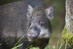 Wild Boar (Abhishek T) Tags: wild nature animals pig wildlife mammals boar