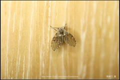_1X_APSC_02 () Tags: macro canon flickr f e wen wesley mp 28 mm ho dslr f28 animalia arthropoda chen 65 1x diptera 2x  4x insecta mpe 65mm 3x   5x hexapoda pterygota neoptera endopterygota howen  psychodidae  450d nematocera 15x  psychodomorpha albipunctata clogmia  chenhowen   wesleychen  clogmiaalbipunctata psychodoidea