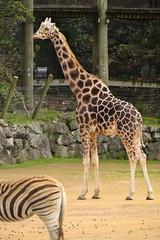 Giraffa camelopardalis DT [NZ Auckland Zoo] (1) (Archivo Murcilago Blanco) Tags: africa fauna auckland mammals mammalia aucklandzoo nuevazelanda ungulates giraf jirafa giraff mamifero artiodactyla giraffidae oceana cetartiodactyla ungulado ungulados tirira diegotirira archivomurcielagoblanco