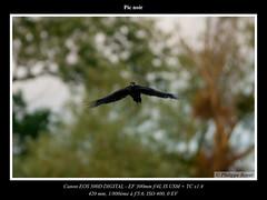 Pic-noir_CRW_4141_web.jpg (Philippe Royer) Tags: nature birds aves oiseaux faune blackwoodpecker dryocopusmartius piciformes picidae picidés picnoir