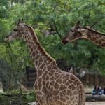 Giraffes thumbnail