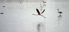 IMGP3508 (Axel12p) Tags: flamingos  kaloxori kalochori