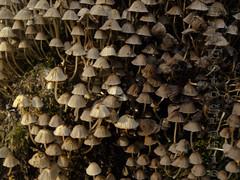 A wall of mushrooms (PvB Fotografie) Tags: park autumn holland color colour nature netherlands dutch wall mushrooms photo rotterdam foto fotografie photographer forrest outdoor herfst nederland natuur olympus muur kralingen zuidholland kleur paddenstoelen fotograaf najaar kralingsebos pvb olympuse510 pvbfotografie
