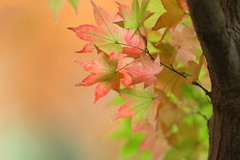 maple leaves (cate) Tags: