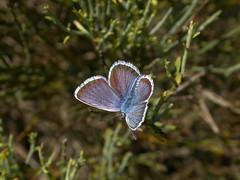 DSCN6895 (Clive Webber) Tags: lycaenidae plebejusargus silverstuddedblue