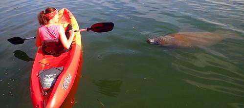 Kayak Tour  with manatee Sarasota