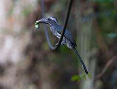 Black Dwarf Hornbill, Tockus hartlaubi,  15th November 15 (Graham Ekins) Tags: bird bokeh outdoor ghana westafrica tropicalforest kakumnationalpark canon300mmf28 tockushartlaubi canon1dmkiv grahamekins blackdwarfhornbill 15112015 ah9k2382