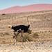 Ostrich, Namibian Desert, Africa