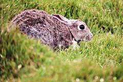 keeping very still (»alex«) Tags: rabbit green eye grass scotland shetland hidding