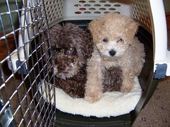 heres-little-chesney-with-her-best-friend-a-tiny-toy-poodle--chesney-is-one-of-kenzie-and-chewys-toy-f1b-girls_4697990705_o