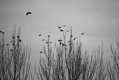 Evening rooks (crs17) Tags: rooks poplar birds silhouette black white corvid