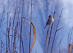 un mattino gocce di rugiada (mariarita.g) Tags: migliarinodipalude parcodellavettabbia milano rugiada natura 2016 inverno