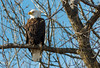 Just Sitting in the Sun (114berg) Tags: 01jan17 bald eagles lock dam 14 leclaire iowa hampton illinois