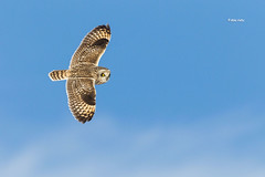 Short-eared Owl (Mike Veltri) Tags: owls owl shoreared flight birds avian nature winter 2017 ontario canada shorteared wow