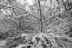 Branches in Snow, Puget Island, Washington, 12-8-2016 (convertido) Tags: winter puget island cathlamet snow december family playing perspective black white trees sky washington
